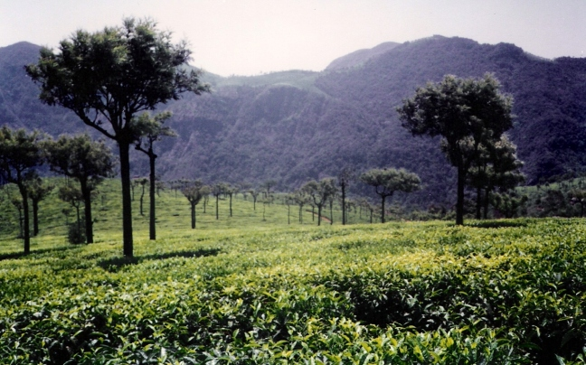 Ooty-tea-gardens